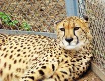 ligga för cheetahgräs Royaltyfria Bilder