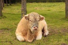 ligga för franskt gräs för tjurcharolais grönt Arkivbild