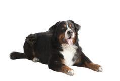 Ligga för hund för Bernese berg Royaltyfria Bilder