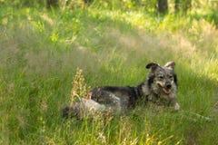 ligga för hundgräs Royaltyfri Bild