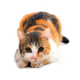 ligga för katt fotografering för bildbyråer
