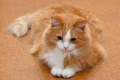 ligga för katt Royaltyfri Bild