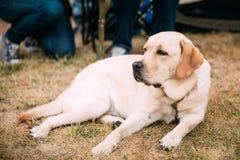 Ligga för labradorhund som är utomhus- Arkivbilder