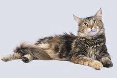 Ligga för Maine Coon katt Royaltyfri Foto