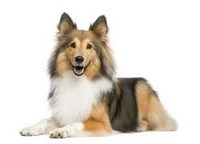 Ligga för Shetland fårhund royaltyfri bild