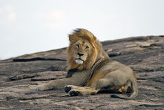 Ligga på ett vaggalejon i masaien Mara Reserve i Kenya Royaltyfri Foto