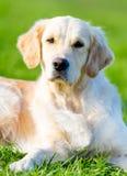 Ligga på hunden för grönt gräs royaltyfri foto