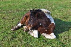 liggande äng för häst royaltyfri fotografi