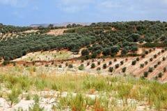 Liggande av olive trees Arkivfoto