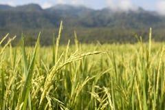 Liggande av ricefältet i Chiang Mai Arkivbilder