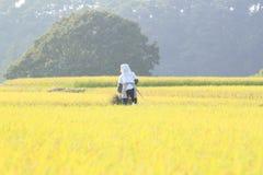 Liggande av ricefältet Arkivfoton