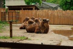 Liggande bactrian kamel Royaltyfria Foton