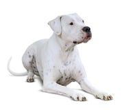 Liggande Dogo Argentino på vit Royaltyfri Foto