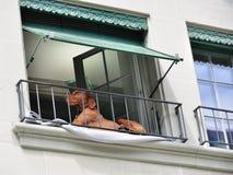 liggande fönsterbräda för brun hund Royaltyfri Bild