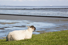 Liggande får längs Groninger Waddenzee, Nederländerna Royaltyfri Foto