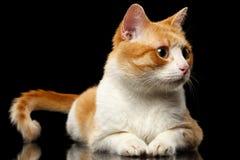 Liggande Ginger Cat Surprised Looking på rätten på den svarta spegeln Arkivfoto