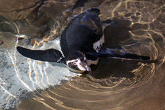 Liggande Humboldt pingvin Fotografering för Bildbyråer