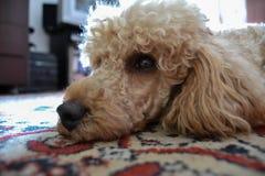 Liggande hund, pudel royaltyfria bilder