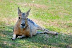 Liggande känguru Arkivbilder