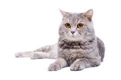 Liggande katt Arkivbild