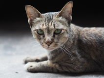 Liggande kattstirrande på kameran Royaltyfria Foton