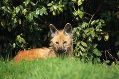 liggande maned wolf Arkivfoton