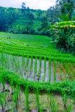 Liggande med Ricefältet och djungeln, Bali Royaltyfri Bild