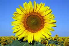 Liggande med solrosen arkivfoto