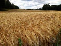 Liggande med vetefältet Arkivfoto