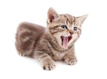 liggande skott görat randig gäspa för kattunge Royaltyfri Fotografi