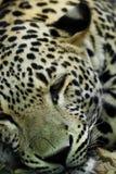 liggande snow för irbisleopard Royaltyfria Foton