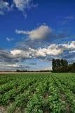 Liggande som planterar potatisar Arkivfoto