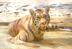 liggande tiger Royaltyfri Fotografi