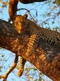 liggande tree för leopard royaltyfri bild