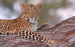 liggande tree för leopard arkivbilder