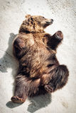 Liggande ung brunbjörn (Ursusarctosarctos) Royaltyfri Fotografi