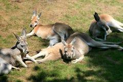 liggande vallabyar för kängurur Arkivfoto