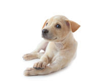 liggande valp för hund Arkivfoto