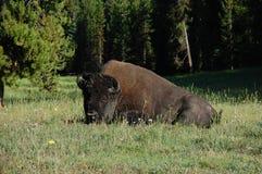 liggande vila för bisonbuffeljordning Arkivfoto