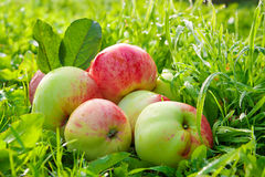 Liggen de fruit rijpe, rode, sappige appelen op een groen gras Royalty-vrije Stock Foto