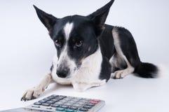 Liggend portret van hond met calculator Royalty-vrije Stock Afbeeldingen