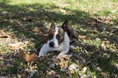 Liggende hond Stock Afbeeldingen