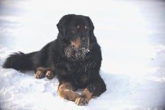 Ligger den tibetana mastiffen för den stora hunden på snön arkivfoton