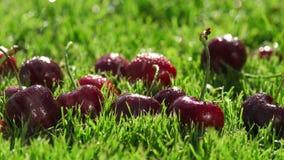 Ligger mogna körsbär för röda bär på gräsplan gräset stock video
