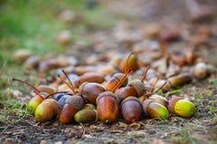 Ligger olika mognad och format för ekollonar på golvet under eken i skogen Royaltyfria Bilder