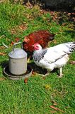 Ligh Sussex Bantam chickens. Two free range Light Sussex Bantams drinking water from a tin container, England, UK Royalty Free Stock Photography