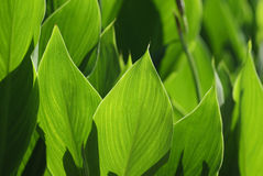 Free Light And Shadow Of Green Leaf. Stock Photography - 7987622