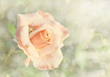 A light apricot colored rose in garden Stock Photo