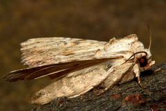 Light arches moth (Apamea lithoxylaea) Royalty Free Stock Image
