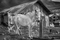 A light B/W HDR of a white horse. A lonely horse found at Gnathang Stock Photography